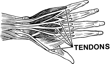 Tendon - Wiki Commons